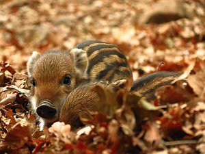 Baby wild boars photo